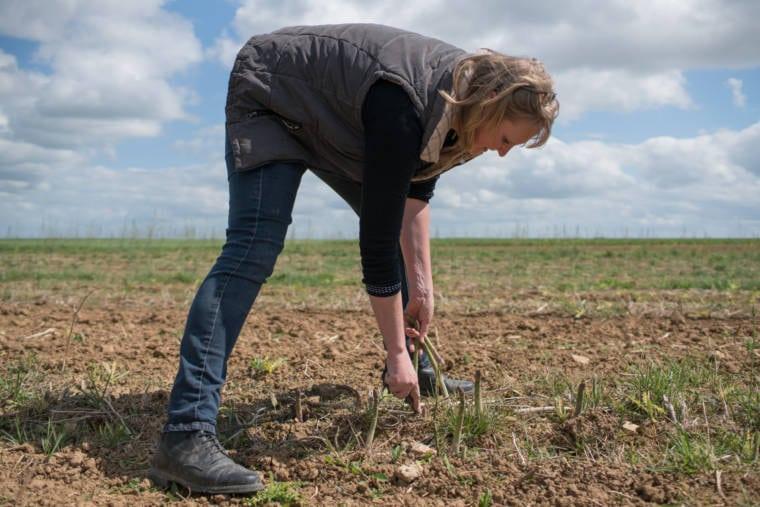 Sophie récolte des asperges dans son champ.